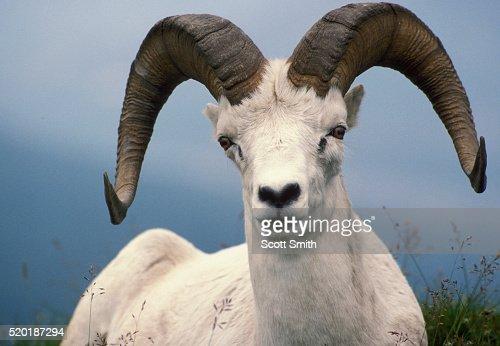 Dall sheep ram at Sable Mountain