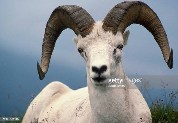 Dall sheep ram at Sable Mountain