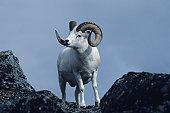 Dall sheep ram, North America