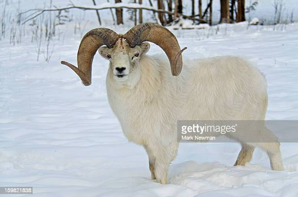 Dall sheep ram with big horns