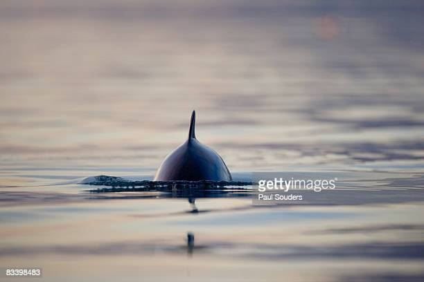Dall's Porpoise, Alaska