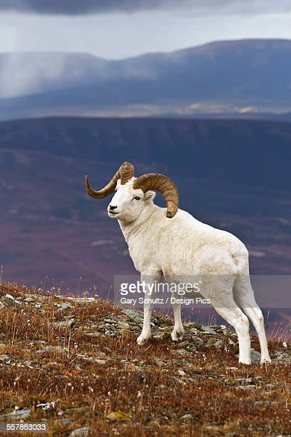 Dalls sheep (ovis dalli) ram standing on ridge top in alpine tundra in autumn with snow clouds in background, denali national park