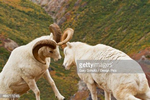 Dall's sheep (ovis dalli) rams butting heads in autumn denali national park