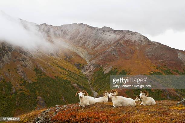 Dalls sheep (ovis dalli) rams resting on alpine tundra on ridge in autumn, denali national park