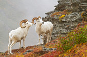 Dall's sheep (ovis dalli) rams standing by rock outcrop in alpine tundra in autumn denali national park
