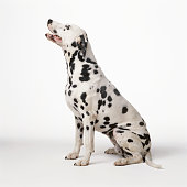 Dalmatian against white background, side view