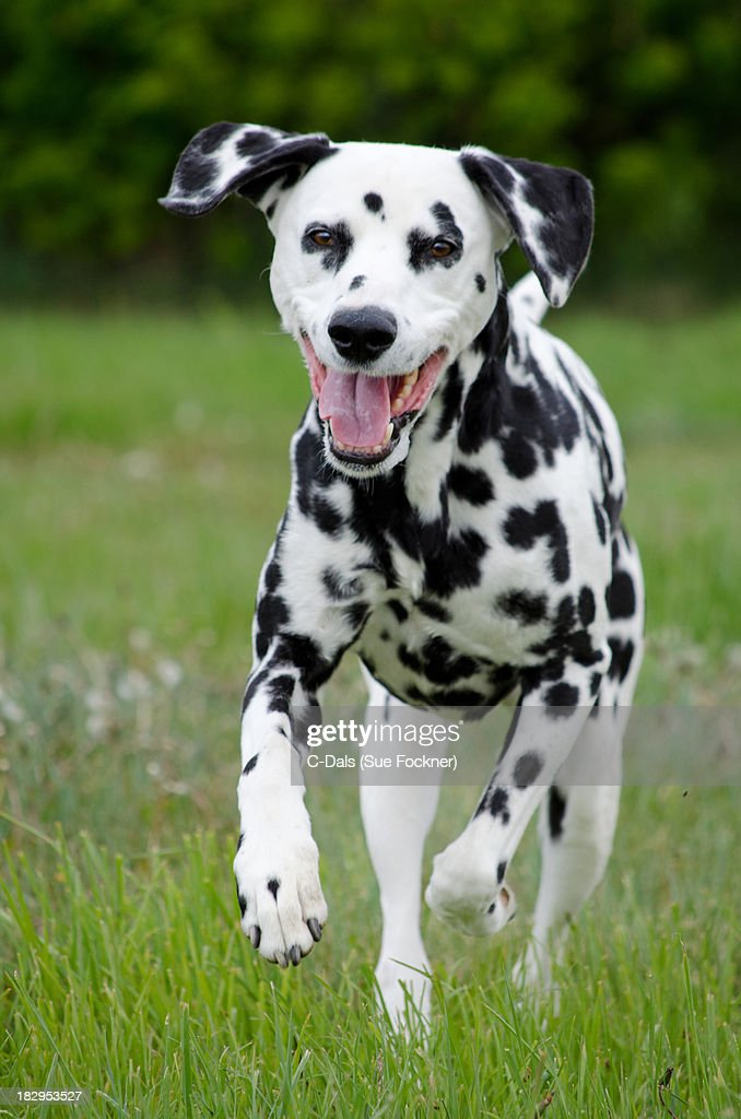 Dalmatian at Play