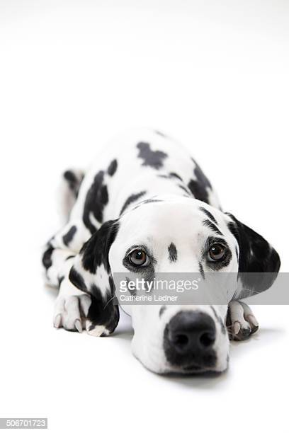 Dalmatian at Rest