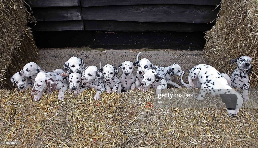 Dalmatian bitch, named Milly who herself was born in a huge and rare litter of 16 puppies has proved lightning can strike twice after she also gave birth to 16 beautiful spotted pups six weeks ago on 28 May. Milly's new arrivals were delivered at Newlands Veterinary Clinic in Ludlow, Shropshire. They are now being cared for at home by Lisa and Terry Elvins and their daughters in near Church Stretton, Shropshire, before they are all but one found new homes.