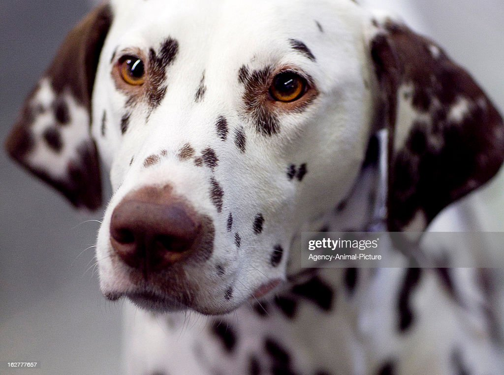 A Dalmatian Dog at the CACIB dog exhibition Westfalenhallen Dortmund on October 16, 2011 in Dortmund, Germany.