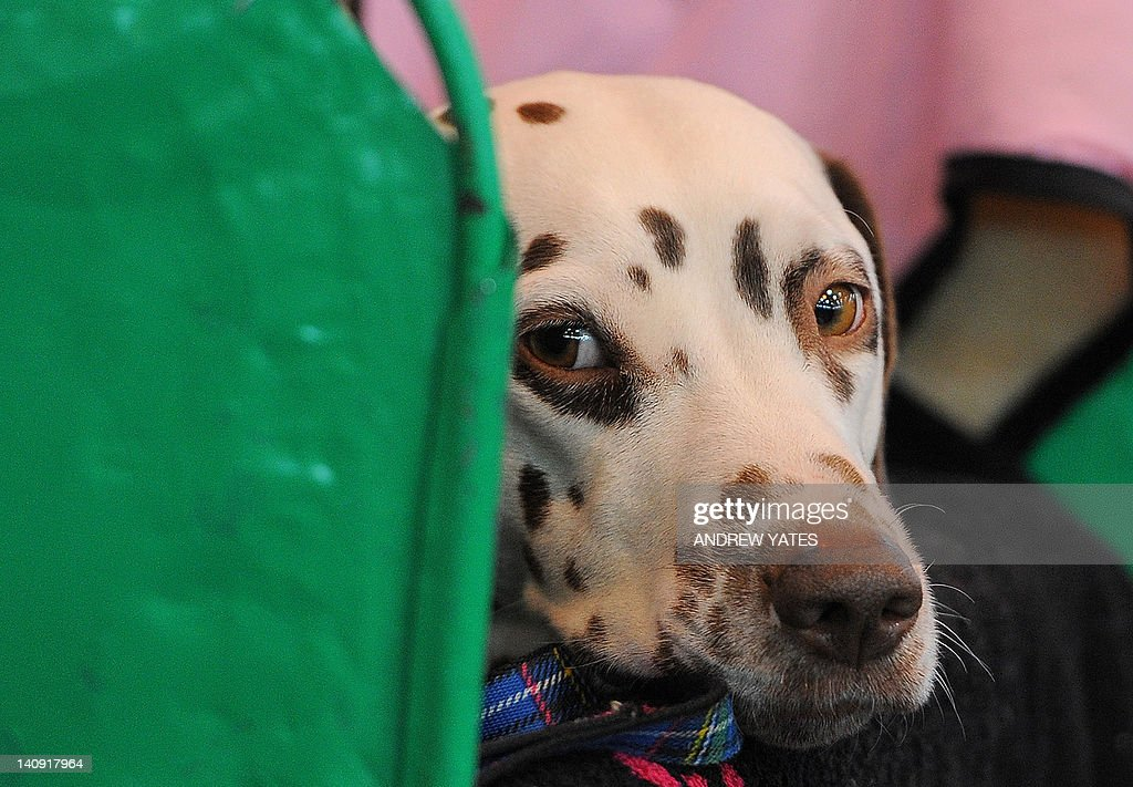 A Dalmatian dog is pictured in the stalls on the first day of the Crufts dog show in Birmingham, central England, on March 8, 2012. The annual event sees dog breeders from around the world compete in a number of competitions with one dog going on to win the 'Best in Show' category.