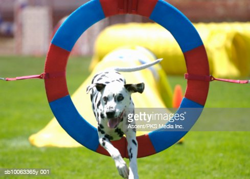 Dalmatian dog jumping through ring at agility competition : Stock Photo