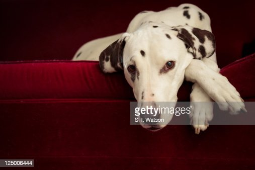 Dalmatian dog on red lounge : Stock Photo