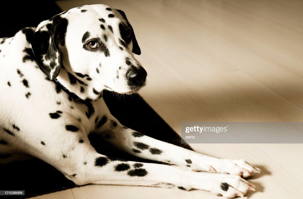Dalmatian Dog : Stock Photo