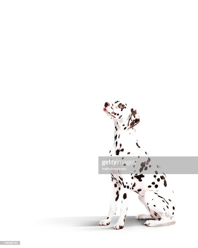 Dalmatian dog : Foto de stock