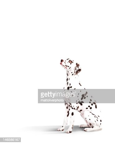Dalmatian dog : Stock Photo