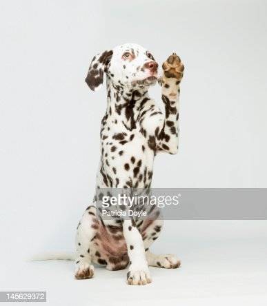 A Dalmatian dog raising its paw