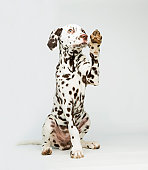 A Dalmatian dog raising its paw