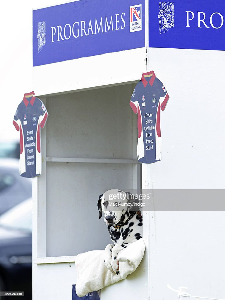A Dalmatian dog seen sitting in a stall selling programmes during day 1 of the Festival of British Eventing at Gatcombe Park on August 1, 2014 in Minchinhampton, England.