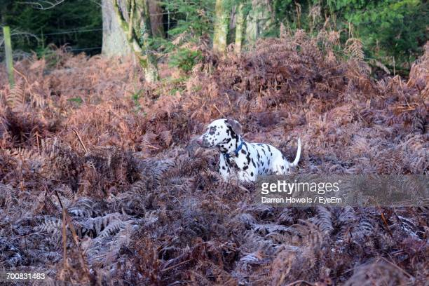 Dalmatian Dog Standing Amidst Plants