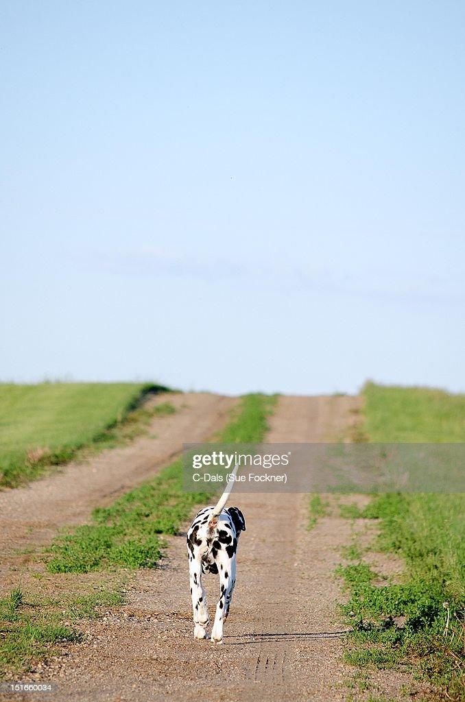 Dalmatian dog trotting along dirt road : Stock Photo