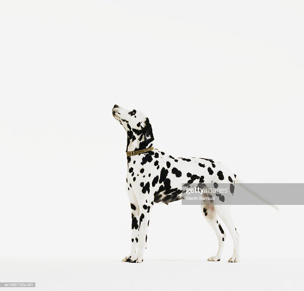Dalmatian dog with collar : Stock Photo
