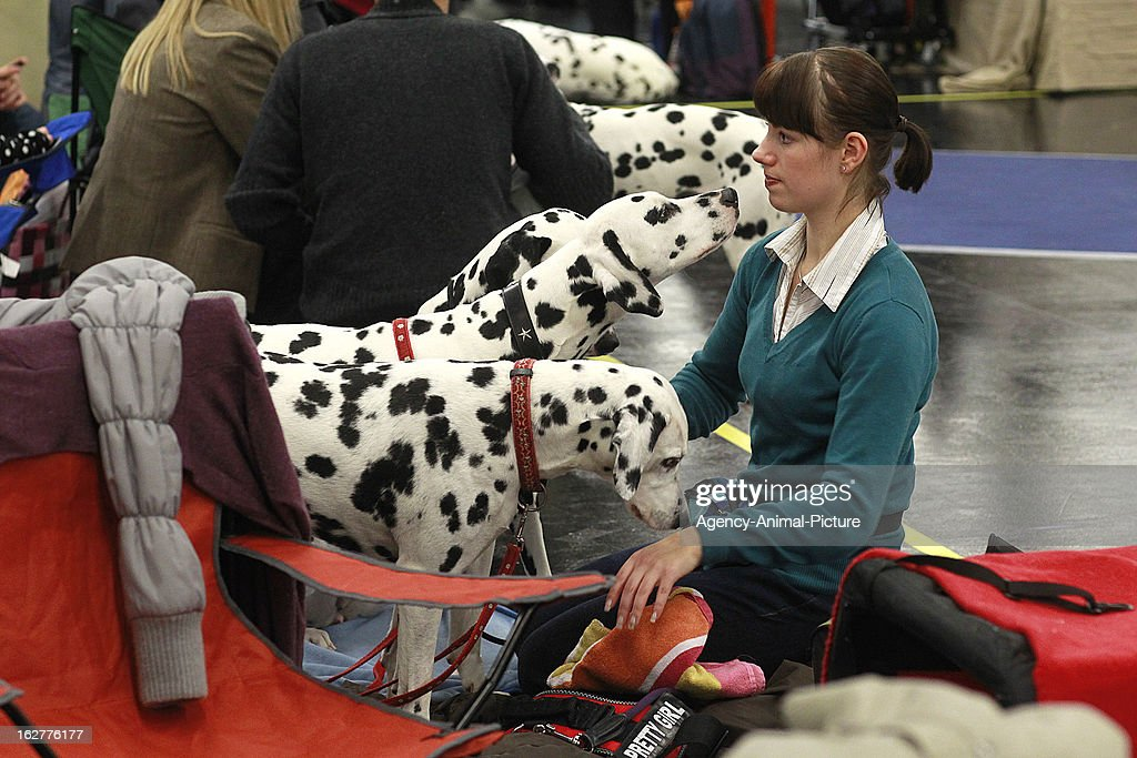 Dalmatian dogs at the CACIB dog exhibition at the Exhibition Centre Nuernberg on January 14, 2012 in Nuernberg, Germany.