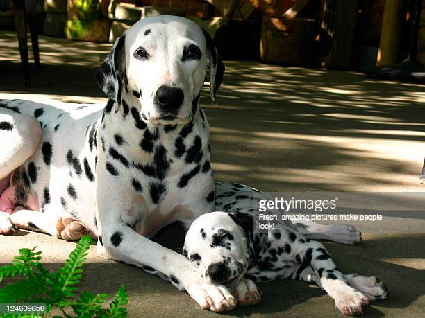 Dalmatian dogs - Mother and Puppy