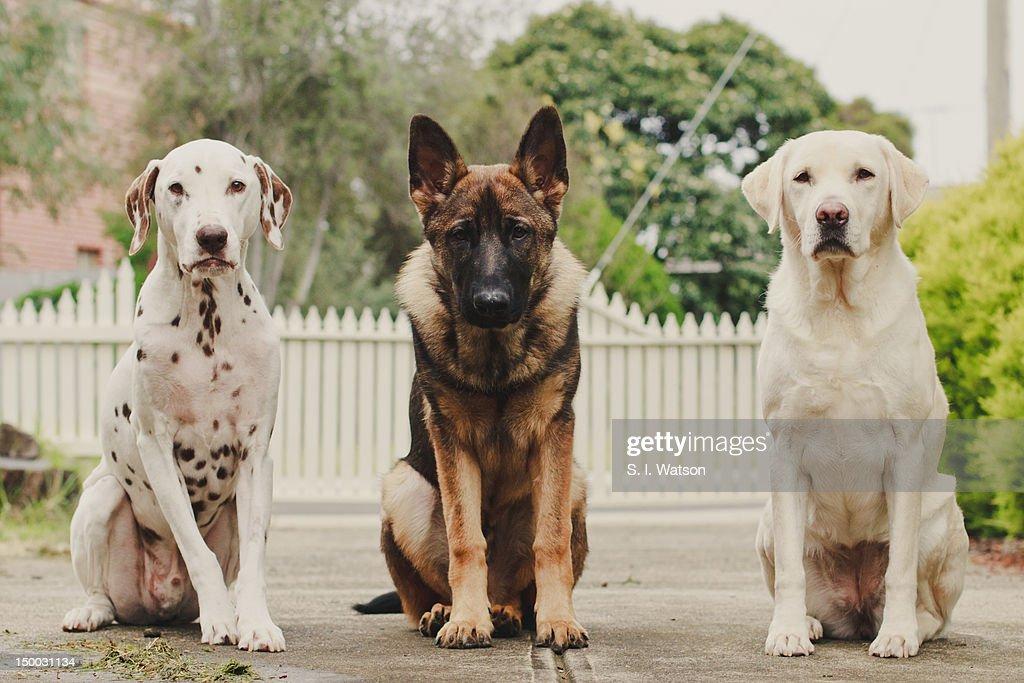 Dalmatian, German Shepherd and Labrador dogs sit : Stock Photo