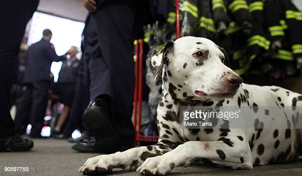 Dalmatian mascot 'Twenty' looks on as firefighters take a break between ceremonies at FDNY Ladder 20 Engine 13 September 11 2009 in New York City...
