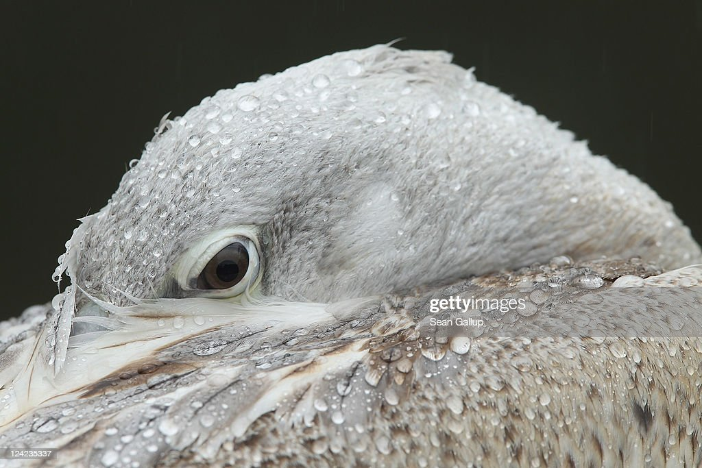 A Dalmatian pelican nestles its head in its feathers as falling rain leaves water droplets on its feathers at the Berlin Zoo on September 9, 2011 in Berlin, Germany. Berlin was drenched with rain today though the weather is supposed to clear by the weekend.