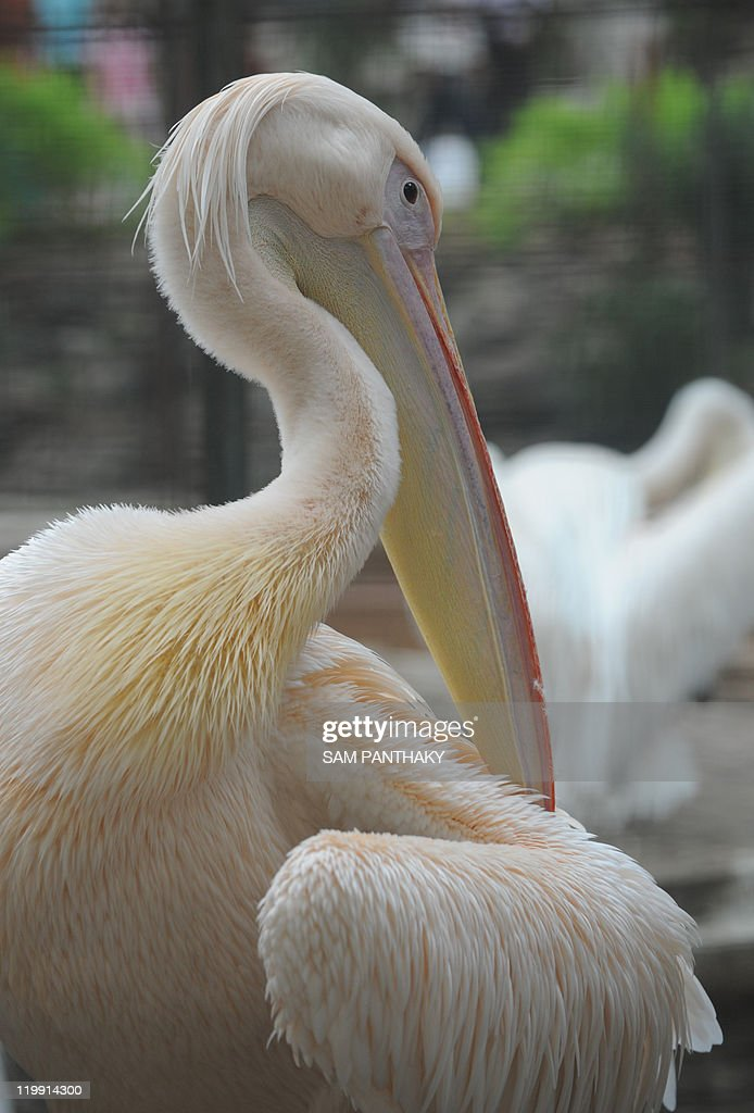 A Dalmatian Pelican (Pelecanus crispus) preens its feathers inside an enclosure at The Kamla Nehru Zoological Garden in Ahmedabad on July 24, 2011. This is the largest of the pelicans averaging 170-190 cm (67-75 inches) and it is the world's heaviest flying species. AFP PHOTO/Sam PANTHAKY