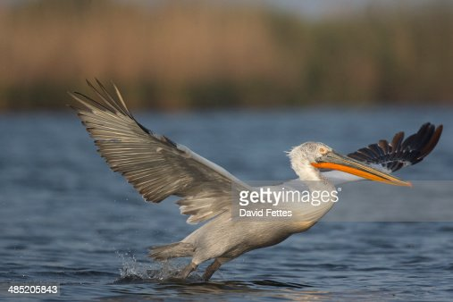 Dalmatian Pelican (Pelecanus crispus)  taking off at dawn, Danube Delta, Romania