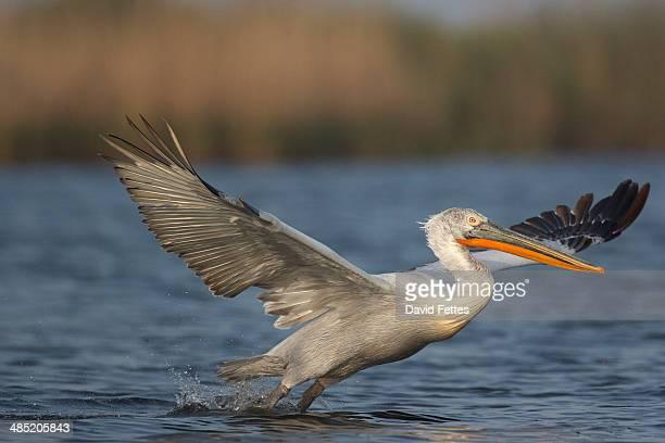 Dalmatian Pelican (Pelecanus crispus)  taking off at dawn, Danube Delta, Romania