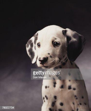 Dalmatian puppy : Stock Photo