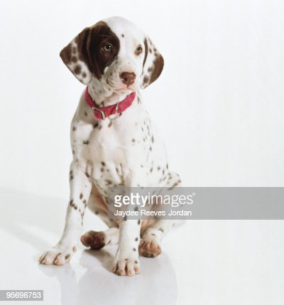 Dalmatian puppy : Stock Photo