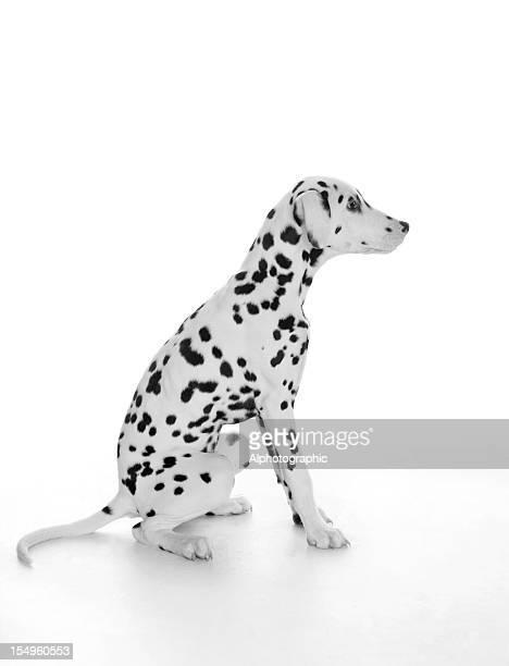 Chiot dalmatien profil assis