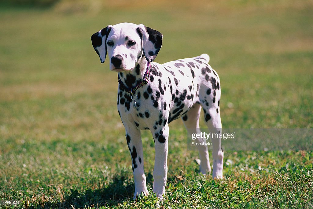 Dalmatian puppy standing on grass : Stock Photo