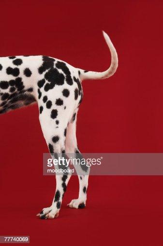 Dalmatian Rear