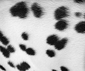 Dalmatian spotted coat background
