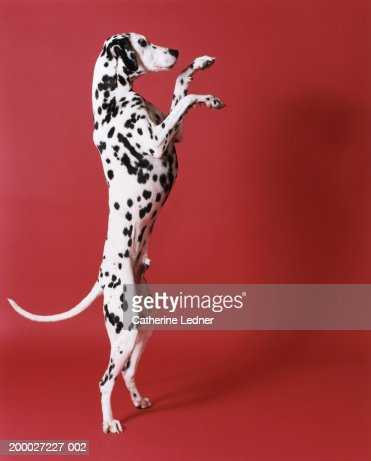 Dalmatian standing on hind legs : Stock Photo