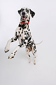 Dalmatian Standing on Hind Legs