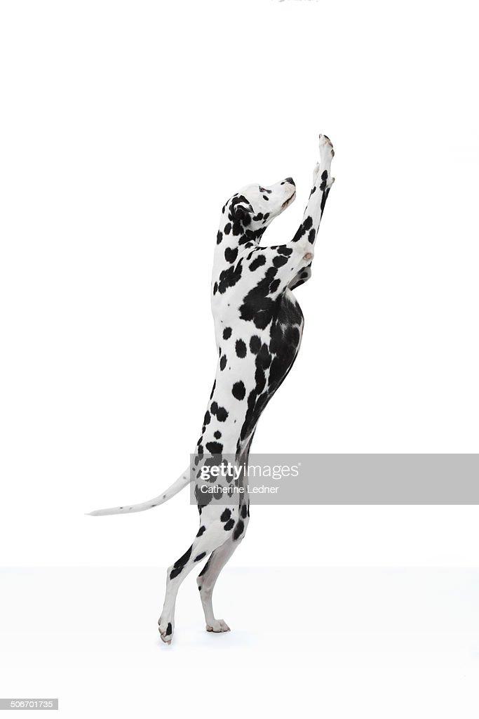 Dalmation Dancing
