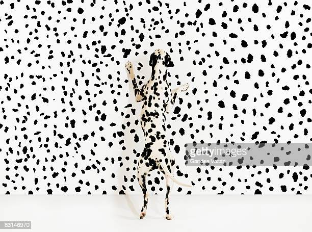 Dalmation dog on spots