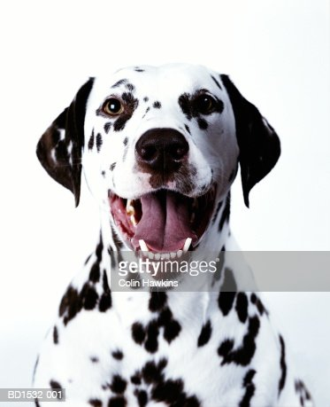 Dalmation, head-shot
