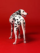 Dalmation on Red Background