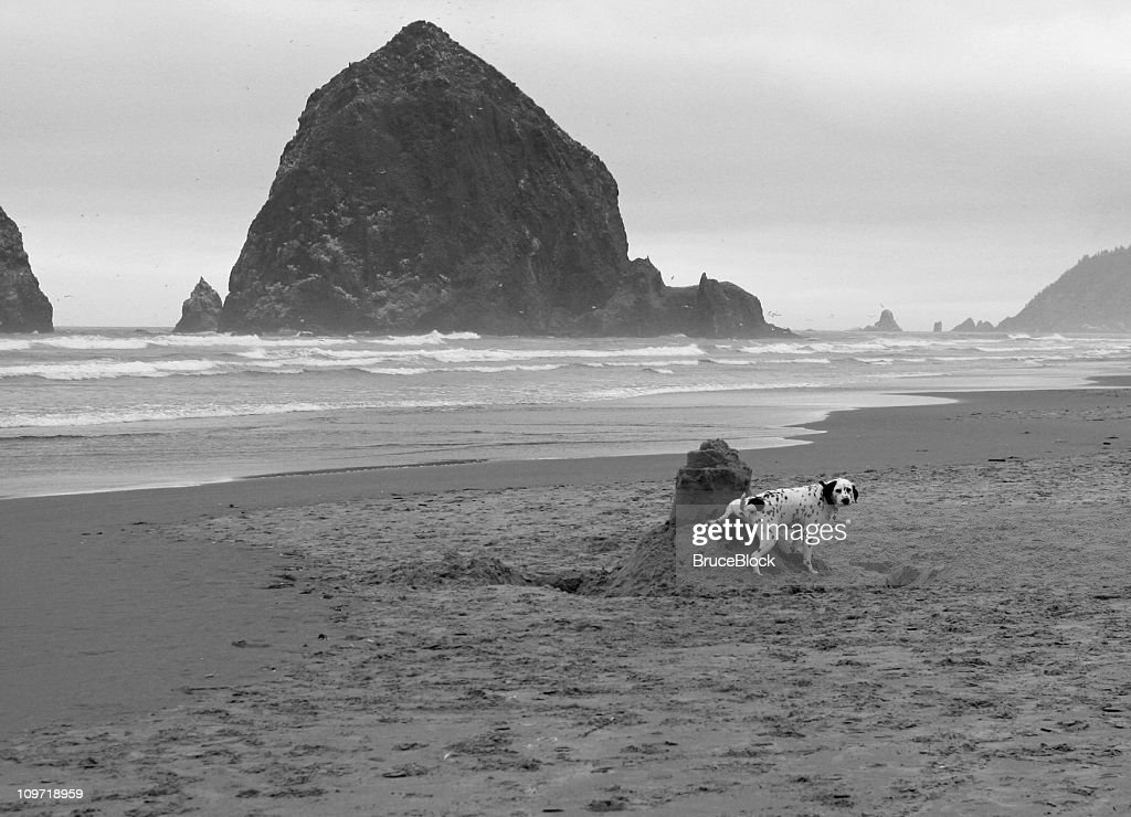 Dalmation Peeing on a Sandcastle : Stock Photo