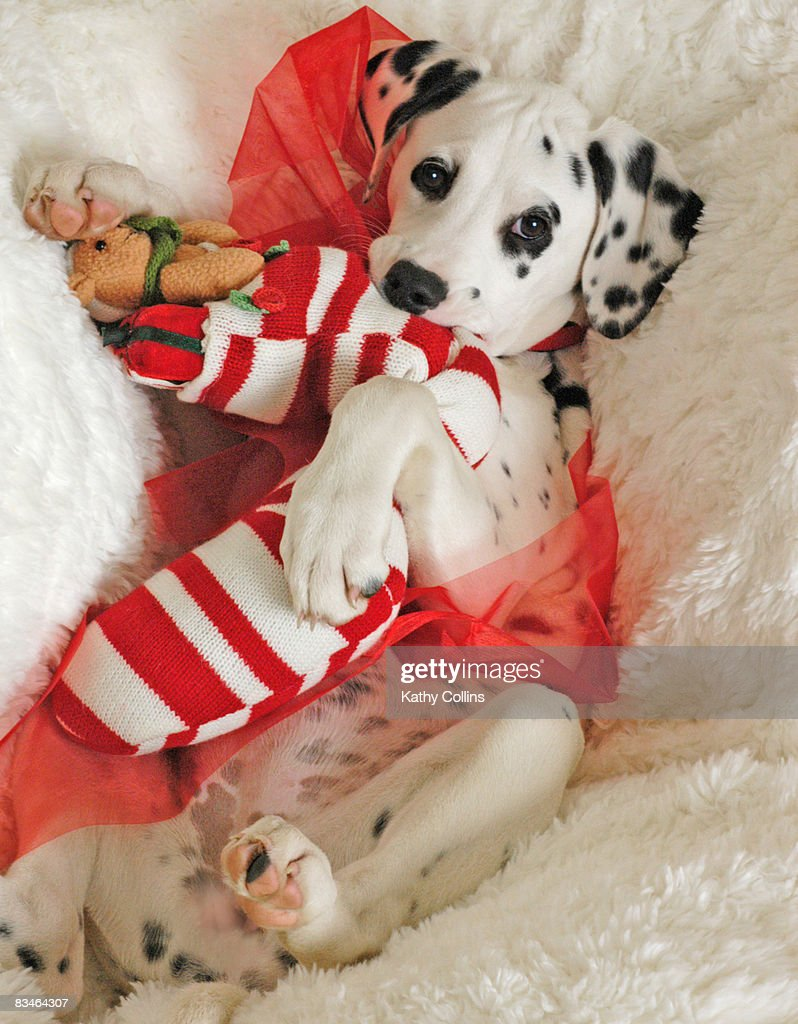 Dalmation puppy with Christmas stocking and holly : Stock Photo