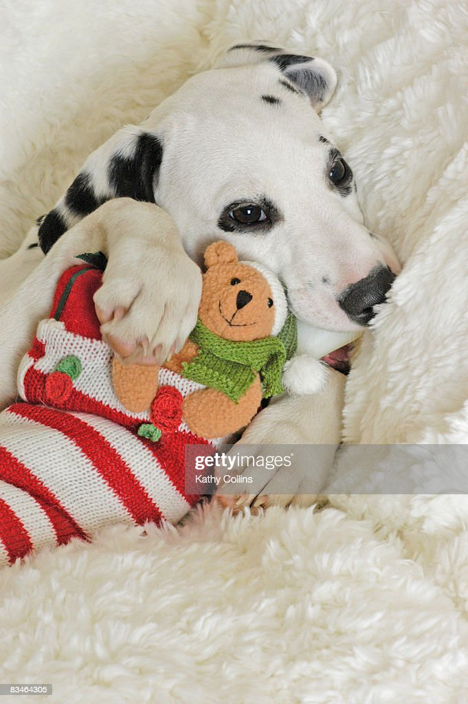 Dalmation puppy with Christmas Stocking : Stock Photo