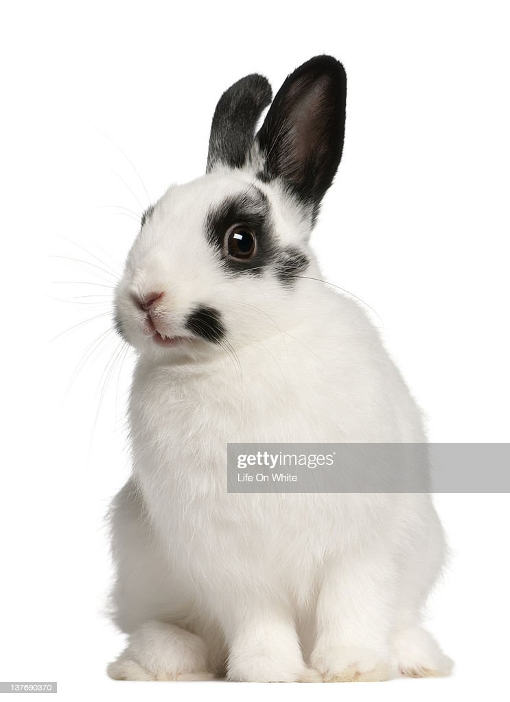 Dalmation rabbit (2 months old) : Stock Photo